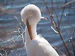 A Great Egret preening on the shoreline of Lake Nokomis