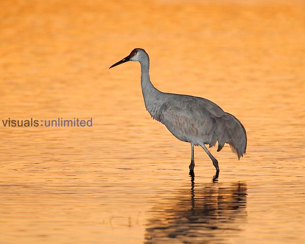 Sandhill Crane ,Grus canadensis,, North America.