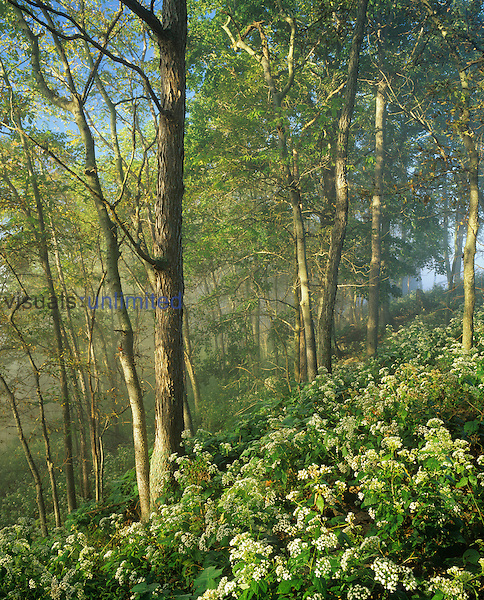 Foggy hillside of White Snakeroot in bloom in the spring deciduous forest at sunrise, Kentucky River Palisades, Garrard County, Kentucky, USA.