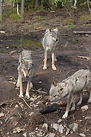 The wilderness zoo in Namsskogan have 12 wolves, and some newborn. Wolf, Namsskogan wilderness zoo.