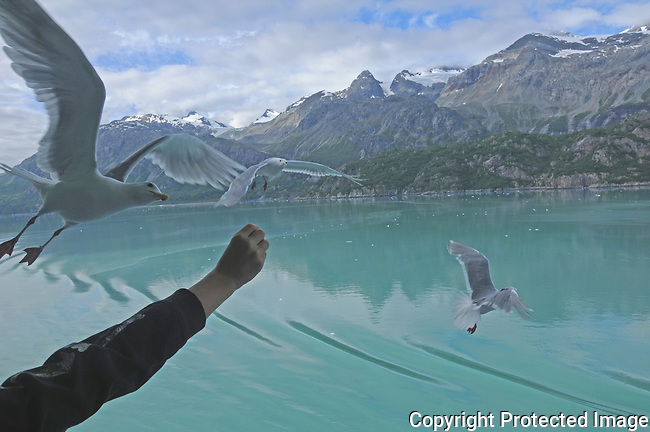 Seagulls in Glacier Bay National Park fly near an outstretched hand looking for food.