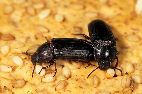 1C33-001a  Flour Beetle - adult - Tenebrio spp.