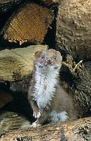 Mauswiesel, zwischen gestapeltem Kaminholz, Holzstapel, Maus-Wiesel, Kleines Wiesel, Marder, Mustela nivalis, least weasel