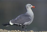 540042515 a heermans gull larus heermanni stands on a rocky shoreline beach in ventura county california