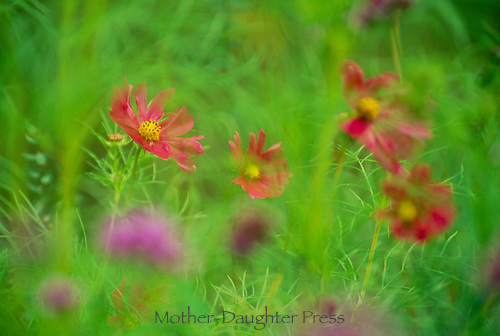 Meadow of Red Cosmos flowers in dreamy garden
