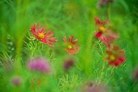 Meadow of Red Cosmos flowers in dreamy garden