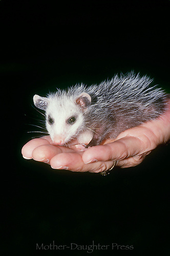 Orphaned baby possum being held in her palm and fits perfectly