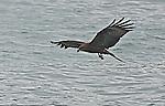 Black  Kite in Hong Kong