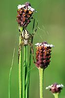 Orb-weaver spider (Araneidae), adult on flower, Dinero, Lake Corpus Christi, South Texas, USA