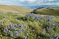 Lupine blooming during summer on Carter Mountans in the Shoshone National Forest of Wyoming