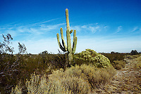 GIANT SAGUARO CACTUS 15'tall<br />