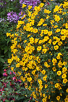 Bidens Pirates Treasure in hanging container pot, yellow annual flowers