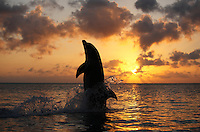 qk2085-D. Bottlenose Dolphin (Tursiops truncatus) tail-walking at sunset. Honduras, Caribbean Sea..Photo Copyright © Brandon Cole. All rights reserved worldwide.  www.brandoncole.com..This photo is NOT free. It is NOT in the public domain. This photo is a Copyrighted Work, registered with the US Copyright Office. .Rights to reproduction of photograph granted only upon payment in full of agreed upon licensing fee. Any use of this photo prior to such payment is an infringement of copyright and punishable by fines up to  $150,000 USD...Brandon Cole.MARINE PHOTOGRAPHY.http://www.brandoncole.com.email: brandoncole@msn.com.4917 N. Boeing Rd..Spokane Valley, WA  99206  USA.tel: 509-535-3489