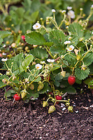 'Temptation' Strawberry plants in all stages of flower and fruit development.