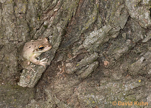 0201-0912  Cuban Treefrog (Cuban Tree Frog), Osteopilus septentrionalis  © David Kuhn/Dwight Kuhn Photography.