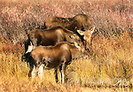 Moose cow with calves, Grand Teton National Park, Wyoming