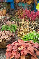 Heucheras variety mix in bloom in basket pot container garden, includes Rave On in flower, Ginger Ale, Strawberry Swirl, Pino Gris, Marmalade, Frosted Violet, Gypsy Dancer, Crimson Curls, Sashay, Southern Comfort in baskets, with some in bloom flowering, and Tiarella