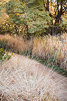 Pennisetum alopecuroides (foreground) along dirt path in CA grass garden. Miscanthus sinensis in background. December