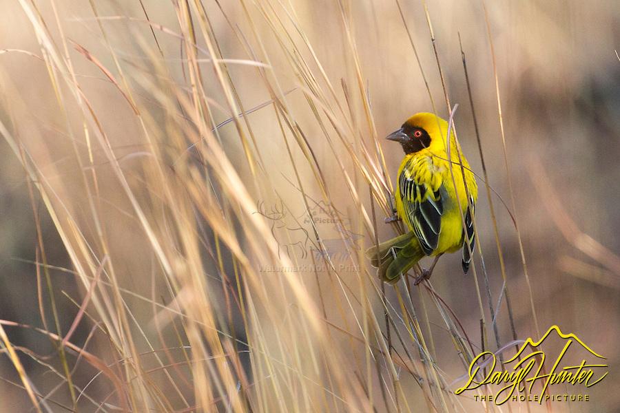 Southern Masked Weaver, Pilanesberg National Park, South Africa