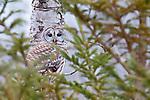 Barred Owl, Strix varia, Presque Isle Provincial Park, Ontario, Canada
