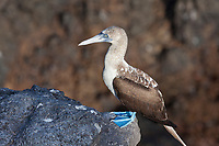Blue-footed booby, South Plaza Island, Galapagos Islands, Ecuador