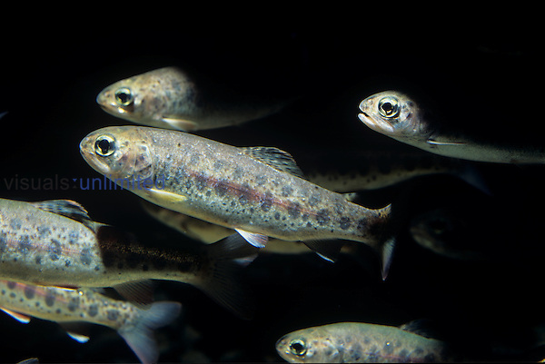 Juvenile Rainbow Trout or Steelhead ,Oncorhynchus mykiss,, California, USA.