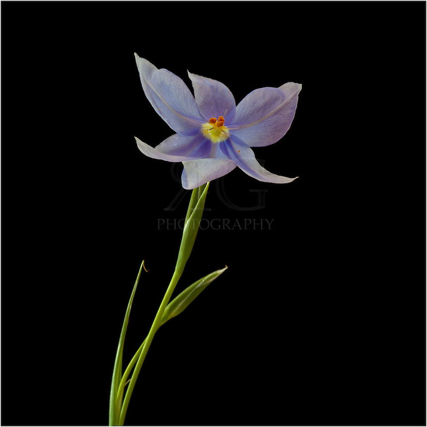 This Texas Wildflower, a Celestial called Nemastylis geminiflora, usually opens its purple and blue petals after 9:00am and closes up by 3:00pm. It's bloom time is from March through May, with each flower lasting only one day. While it doesn't last long, this blue Texas Wildflower is a little gem when found.