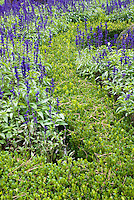Salvia farinacea 'Victoria' in Buxus sinica var. insularis 'Winter Gem' dwarf boxwood knot garden, creating visual effect