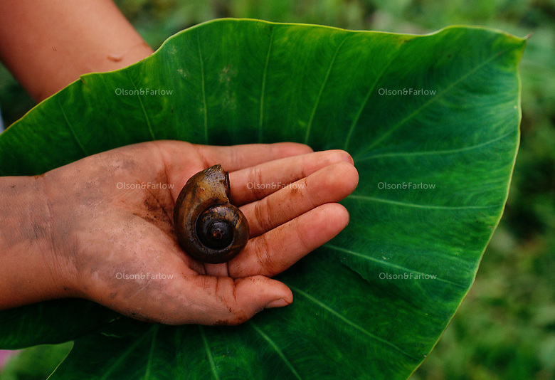 The golden apple snail was introduced to Hawaii in 1989 as a possible cash crop - the <br /> escargot of the tropics. It began invading taro patches in Hawaii--a traditional staple crop of <br /> native Hawaiians. <br /> The female crawls out of the water at night and lays eggs on the stalks of plants that look <br /> like a wad of pink bubblegum. A female can lay 4,000-8000 eggs that hatch--the density of <br /> snails in Hawaii has reaches 130 per square meter.
