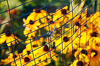 A wire fence and blurred Browneyed Susan (Rudbeckia triloba) flowers in a garden.