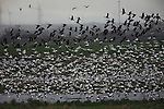 Delta birds by the tens of thousands sited near Antioch, California.