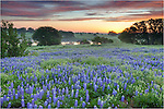 I was trying to find bluebonnets early on this morning, but was having no luck. The field I had intended to shoot at was pretty sparse. I was on a dirt road in the Texas Hill Country just before sunrise when I came across this field of bluebonnets with a small pond in the distance. Given the timing, I was pretty fortunate to find this spot. I returned here a few times over the next few days.
