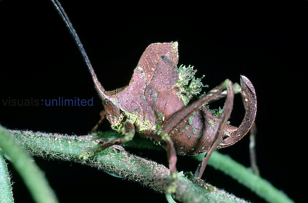 The nymphal or immature stage of this leaf-mimicking Katydid has moss-like projections protruding from its back.  Costa Rica, Rainforest.