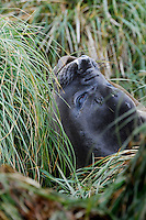 Blowing Kisses - A female Elephant Seal on Macquarie Island