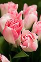 Tulip 'Akela' (Single Late Group). First introduced in 1980 by J.F. van den Berg & Sons