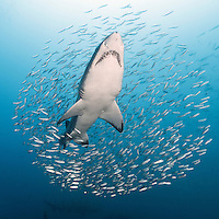 TP0747-Ds. Sand Tiger Shark (Carcharias taurus) ascending through a cloud of baitfish. This shark also known as Gray Nurse Shark and Ragged-tooth shark. Previously classified as Eugomphodus taurus and Odontaspis taurus. North Carolina, USA, Atlantic Ocean. Cropped square from native horizontal format.<br /> Photo Copyright &copy; Brandon Cole. All rights reserved worldwide.  www.brandoncole.com