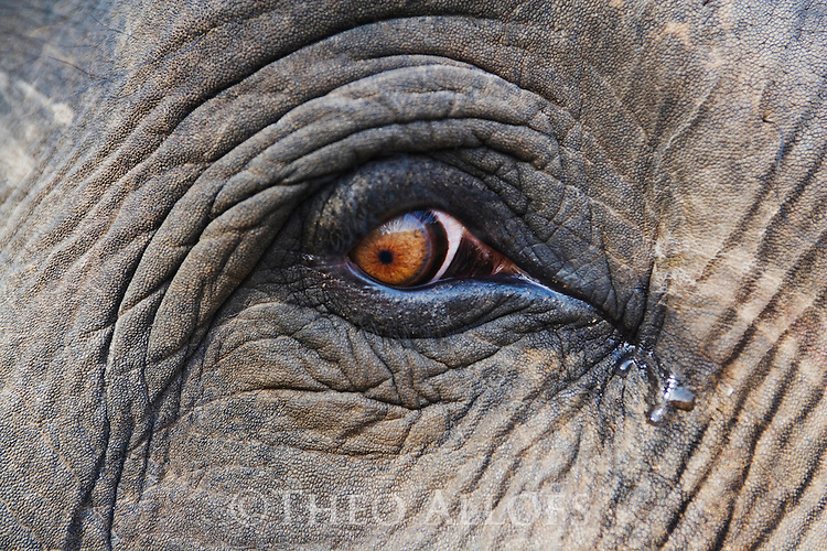 India, Bandhavgarh National Park, Indian elephant, close up of face