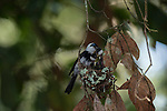 Pied monarch pair feeding their 2 chicks in a nest. The pied monarch (Arses kaupi) is a species of bird in the monarch-flycatcher family Monarchidae. It is endemic to coastal Queensland in Australia. The species has a number of other common names, including the Australian pied monarch, the banded monarch, the pied monarch-flycatcher, the black-breasted flycatcher and Kaup's flycatcher.