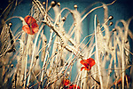 Poppies in a wheatfield<br />