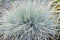 Festuca glauca 'Blaufuchs' aka Blue Fox Fescue, blue ornamental grass, closeup of foliage leaves needles