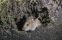 Feldmaus, in ihrem unterirdischen Bau, Feld-Maus, Wühlmaus, Wühl-Maus, Maus, Microtus arvalis, common vole