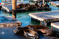 United States, California, San Francisco. Pier 39 is located at the edge of the Fisherman's Wharf district. The California sea lions attracts a lot of tourists.