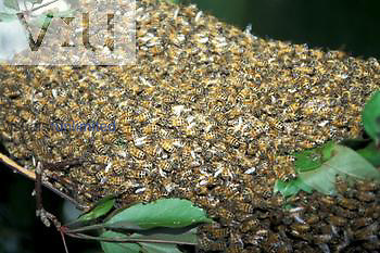 Honey Bee swarm ,Apis mellifera,