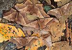 Leaf moths, Peruvian Amazon