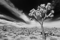 Joshua Tree Wide Sky Streaking Clouds - Joshua Tree National Park CA - Infrared Black & White