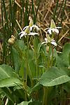 Yerba mansa, Anemopsis californica, Oasis Valley, Nevada