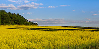 Bright yellow field of canola under a blue sky.
