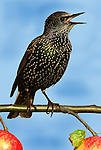 Starling, Sturnus vulgaris, male singing, perched on branch with apple in garden, calling, sound, chirping. .United Kingdom....