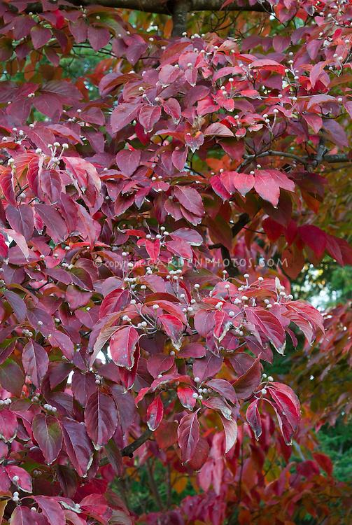 cornus florida appalachian spring dogwood in autumn fall. Black Bedroom Furniture Sets. Home Design Ideas