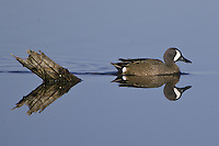 Blue-winged Teal swimming on a still pond